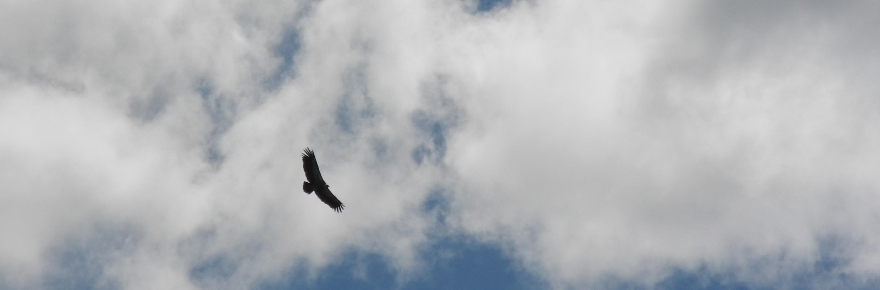 vautour-fauve-(c)jonathan-bernollin